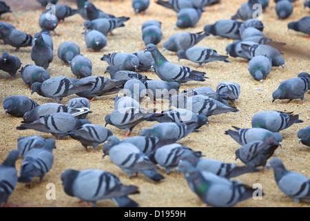 Urban pigeons feeding on the square - Stock Photo