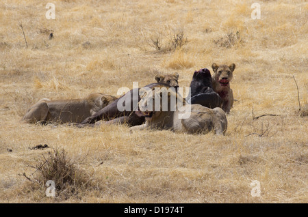 Lions on a Buffalo kill in Ngorongoro - Stock Photo