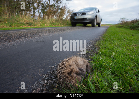 Hedgehog (Erinaceus europaeus), dead on the side of the road, UK, Islay, Scotland, October 2012 - Stock Photo