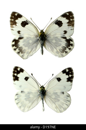 Bath White Butterflies, Pontia daplidice, Pieridae, Lepidoptera. Female (top), Male (bottom). - Stock Photo