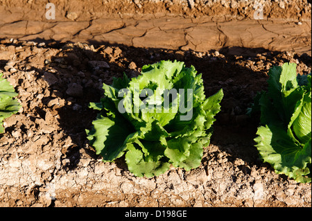 Lettuce field in the Imperial Valley, California - Stock Photo