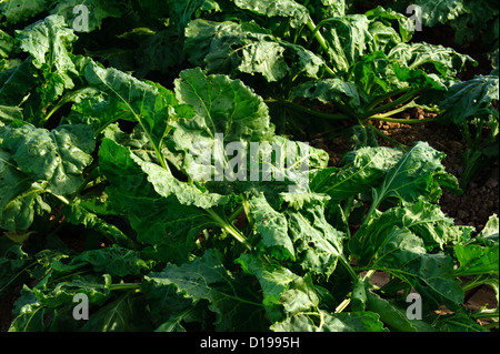 Sugar Beet field in the Imperial Valley of California - Stock Photo