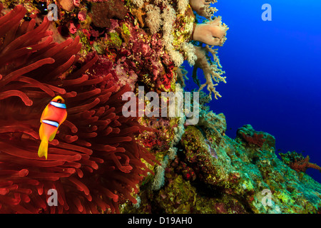 Clownfish swimming around its vivid red anemone on a coral reef outer wall in deep water - Stock Photo