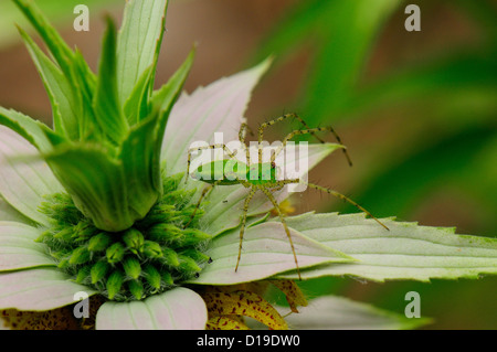 Green Lynx Spider on Spotted Beebalm - Stock Photo