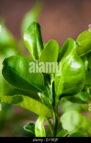 LIme leaves - Stock Photo