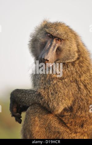 Olive baboon Papio anubis, Papiinae, Nechisar National Park, Arba Minch, Etiopia, Africa - Stock Photo