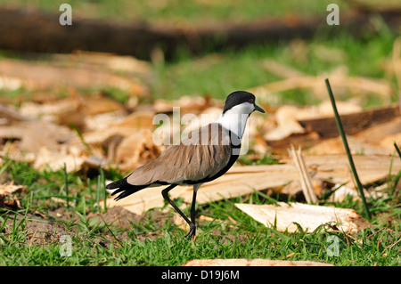 Spur-winged Lapwing or Spur-winged Plover Vanellus spinosus, Charadriidae, Chawo Lake Nechisar National Park Arna - Stock Photo