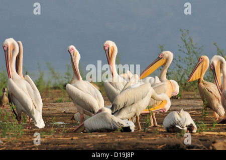 Great White Pelican Pelecanus onocrotalus, Chawo Lake, Nechisar National Park, Arna Minch, Etiopia, Africa - Stock Photo