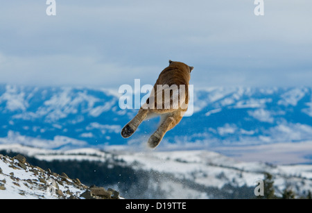 Mountain Lions, Montana, United States - Stock Photo