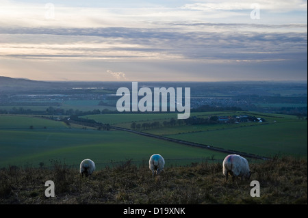 Sheep grazing on Ivinghoe Beacon at the end of The Ridgeway National Trail, Buckinghamshire, UK - Stock Photo