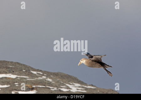 Southern Giant Petrel coming into land on South Georgia - Stock Photo