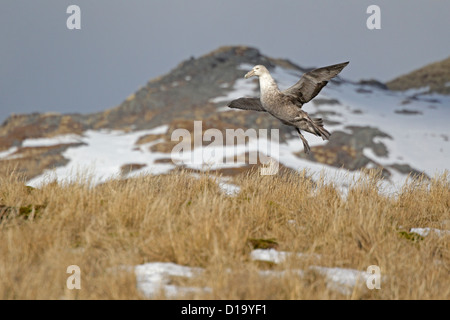 Souther Giant Petrel coming in to land on South Georgia - Stock Photo