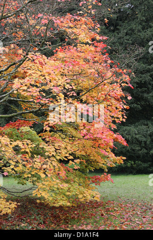 Acer japonicum ( Full Moon Maple )at Westonbirt Arboretum, Gloucestershire, England, UK in Autumn - Stock Photo