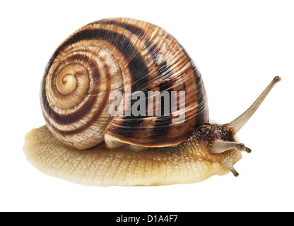 Garden Snail in front of white background. - Stock Photo