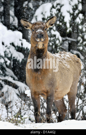 A cow elk standing front view looking forward on a snowy day in northern Alberta Canada. - Stock Photo
