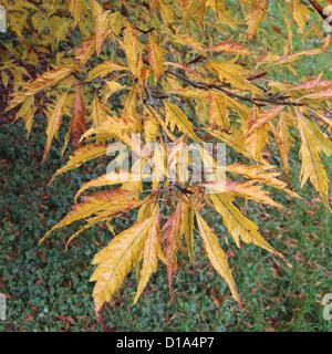 Fagus sylvatica 'Asplenifolia' ( Cut-Leaved or Fern-Leaved Beech ) in Autumn - Stock Photo