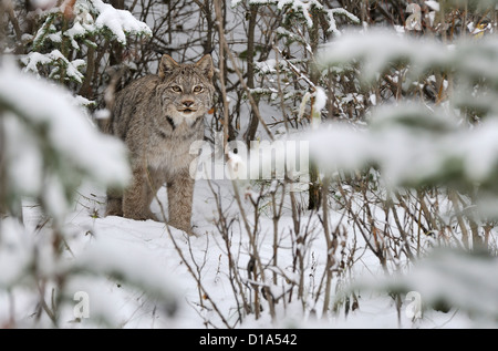 A wild Canadian lynx standing looking frontward in the deep snowy forest of northern Alberta Canada. - Stock Photo