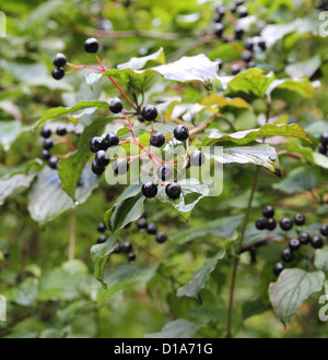Autumn Berries on a Wayfaring Tree ( Viburnum lantana ), UK - Stock Photo