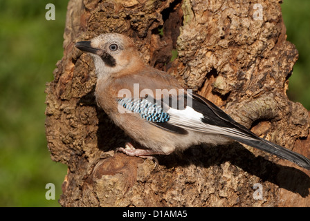 Juvenile European Jay perched on tree-trunk - Stock Photo