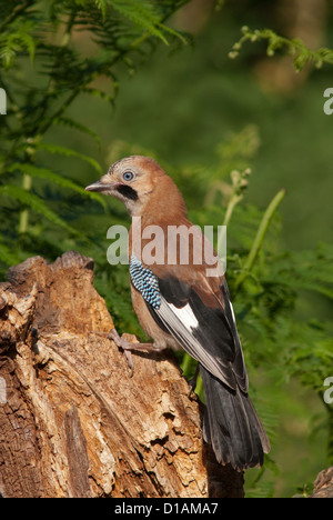 Juvenile Jay perched on log - Stock Photo