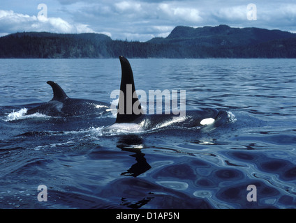Killer whale; Orca.Orcinus orca.Male (tall dorsal fin), and female.Photographed in Johnstone Strait, British Columbia, - Stock Photo