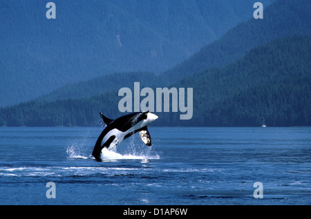 Killer whale; Orca.Orcinus orca.Male, breaching.Photographed in Johnstone Strait, British Columbia, Canada - Stock Photo
