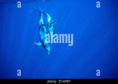 Bottlenose dolphin.Tursiops truncatus.Mother with large calf.Off Socorro Island, Mexico, Pacific Ocean - Stock Photo