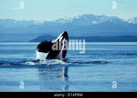 Killer whale; Orca.Orcinus orca.Male, breaching.Photographed in Icy Strait, Southeast Alaska. - Stock Photo