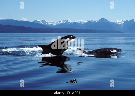 Killer whale; Orca.Orcinus orca.Breaching.Photographed in Icy Strait, Southeast Alaska, USA - Stock Photo