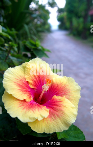 Hibiscus flower at Chaweng beach on the island of Ko Samui, Thailand. - Stock Photo