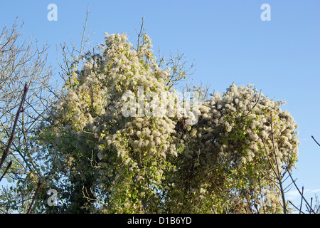 Russian vine  (Fallopia baldschuanica) - Stock Photo