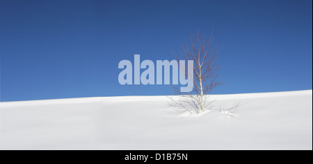 Lonely birch tree in the snow with a background of blue sky - Stock Photo