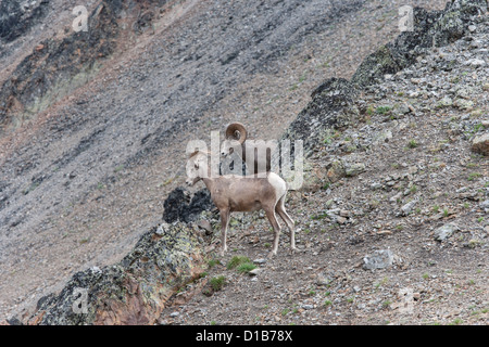 Rocky Mountain Bighorn Sheep male and female pair on scree slope looking at hikers in valley below - Stock Photo