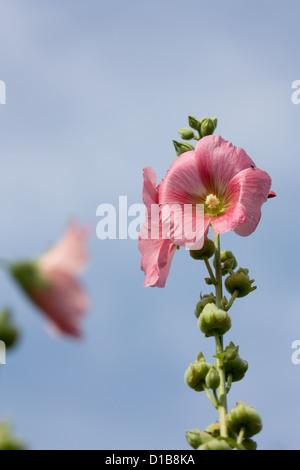 Berlin, Germany, tall rose mallow - Stock Photo