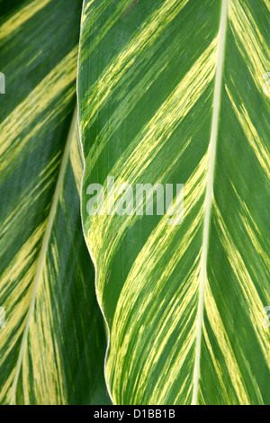 Variegated green yellow ginger leaves detail - Stock Photo