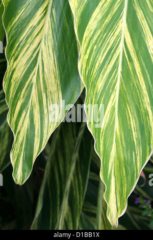 Variegated green yellow ginger leaves - Stock Photo