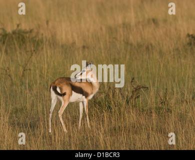 Female Thomson's gazelle in plains - Stock Photo