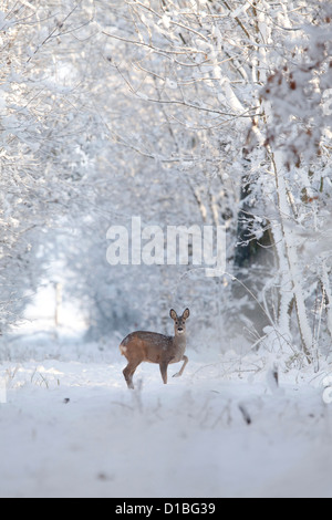 Roe Deer (Capreolus Capreolus) in a forest near Batenburg, The Netherlands. - Stock Photo