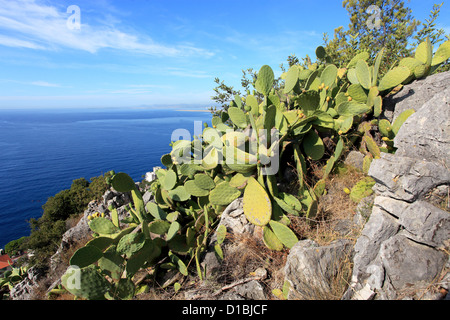cactus in the natural park of the Mont Boron in Nice city - Stock Photo
