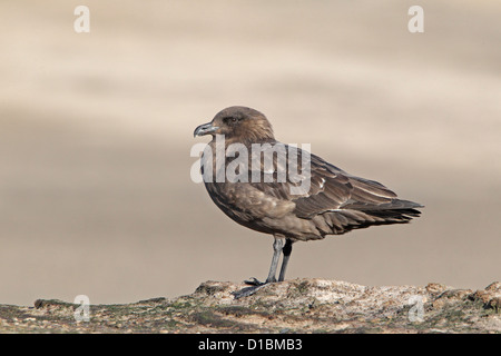 Falkland Brown Skua perched - Stock Photo