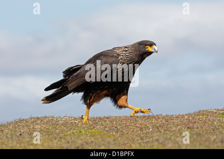 Adult Striated Caracara on Saunders Island - Stock Photo