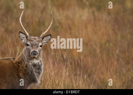 A young Red Stag stag photographed in the Scottish Highlands. - Stock Photo