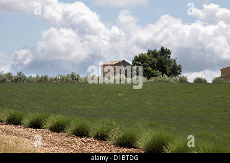 Lavender field in Provence in southern France in Villars - Stock Photo