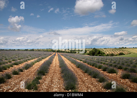 Lavender field in Provence in southern France in the Puimoisson - Stock Photo