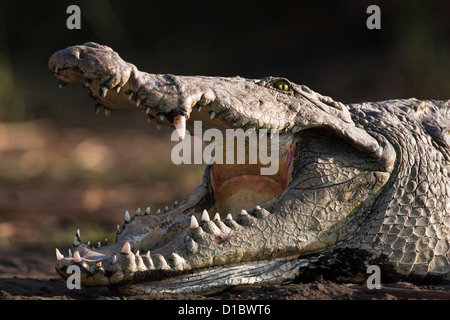 Nile Crocodile (Crocodylus Niloticus) with mouth open, teeth and throat visible, Crocodile Market, Lake Chamo. Africa, - Stock Photo
