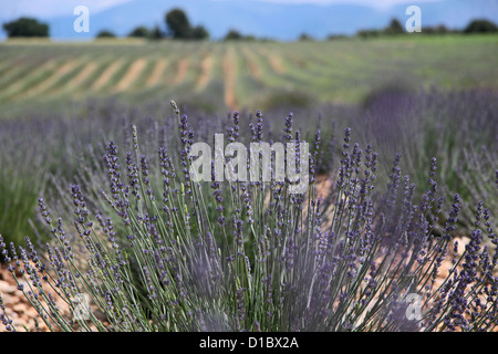Lavender field in Provence in southern France in the Puimoisson