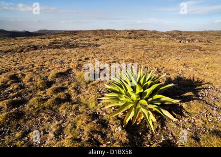 Giant Loebelia (Lobelia rhynchopetalum) in the Bale Mountains of Ethiopia sunrise on the Sanetti Plateau. Africa, - Stock Photo