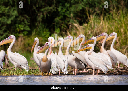 Great White Pelican near the shore of Lake Chamo in Nechisar National Park close to Arba Minch. Africa, Ethiopia - Stock Photo