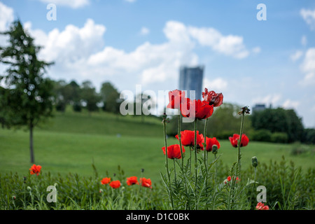 Red poppies in the Rheinaue, a leisure park in front of the 'Post Tower', the Headquarter of Deutsche Post DHL in Bonn, Germany