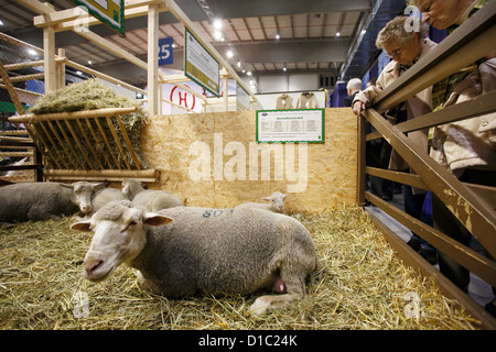 Berlin, Germany, visitors look at sheep on the Green Week - Stock Photo